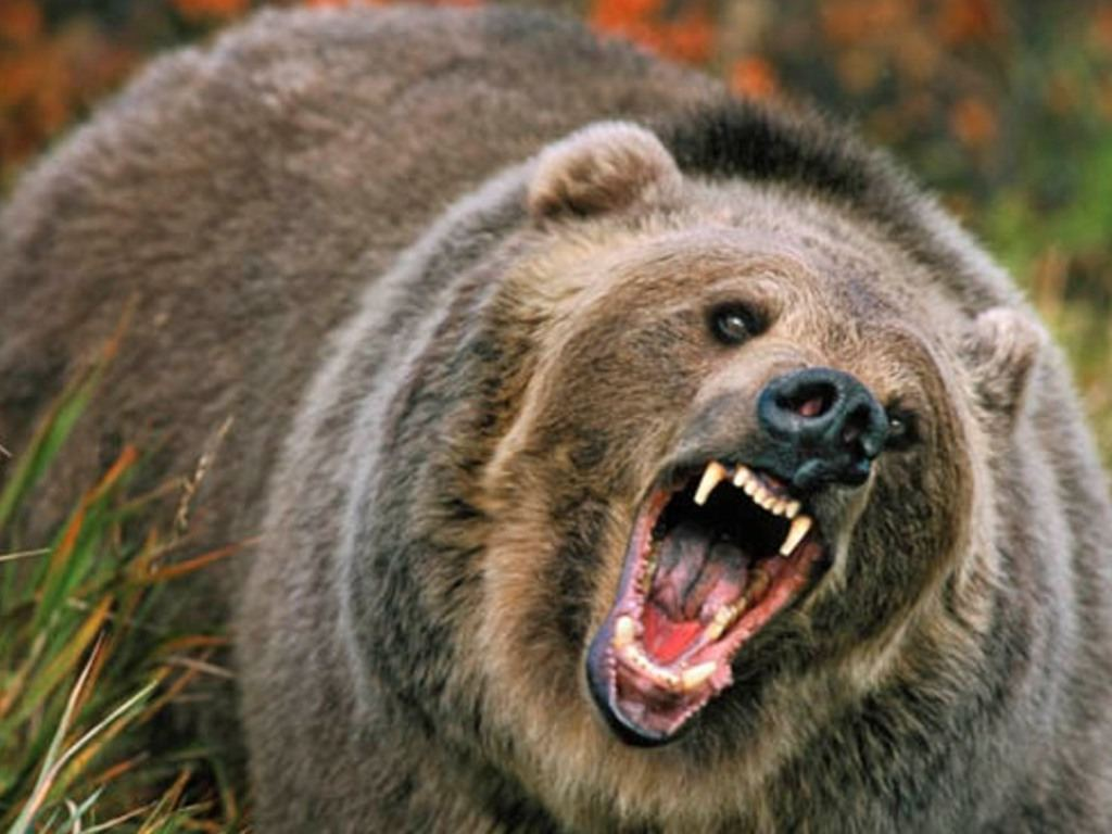 Grizzly Bear Standing Stock Images RoyaltyFree Images
